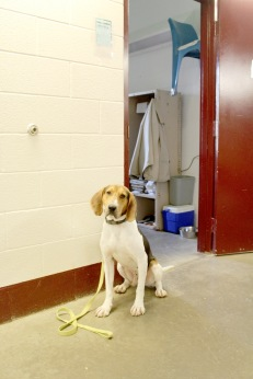 Harlan the Walker Coonhound adjusts to his new life behind bars, and learns to trust the handler that will help him find a forever home.
